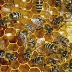 Пчелни продукти при уголемена простата