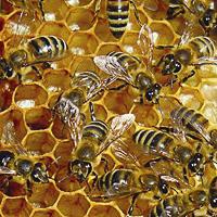 Урологичните заболявания също се повлияват при лечение с пчелни продукти