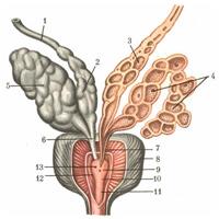 Простатната жлеза (мед. glandula prostata) е част от репродуктивната система на мъжа, разположена в малкия таз.