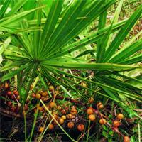Екстракт от плодовете на Serenoa repens при проблеми с уринирането свързани с увеличената простата.